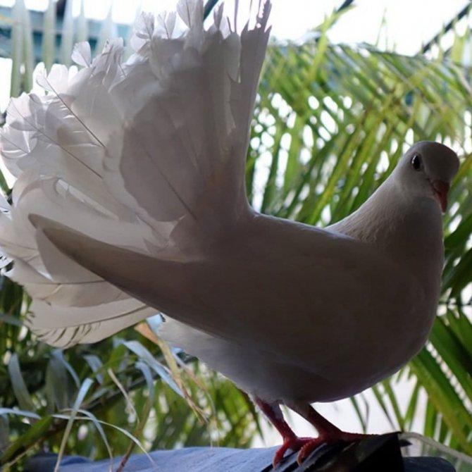 Породы голубей с фотографиями и названиями: большой обзор