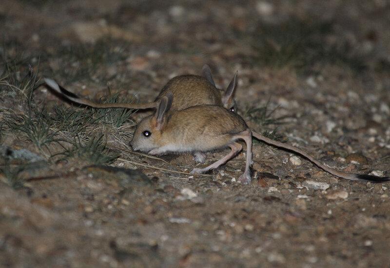 ᐉ жители пустыни тушканчики: разновидности и описание с картинками, образ жизни, питание и размножение - zoovet24.ru