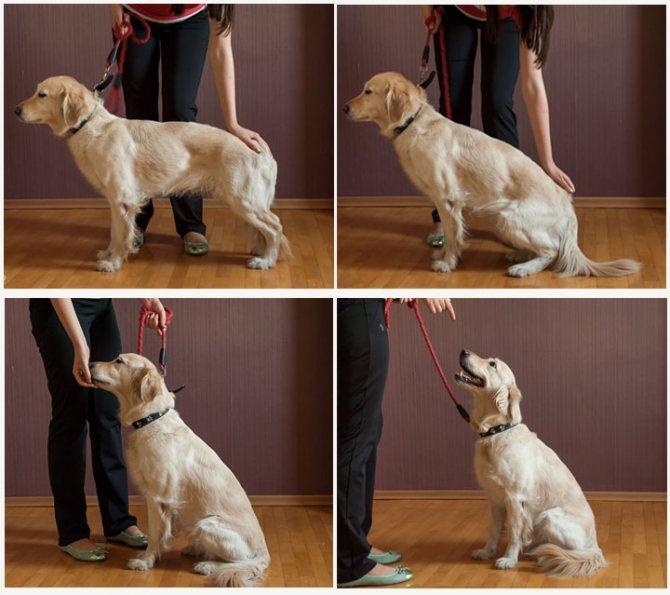 Как научить собаку командам: применение и техника отработки