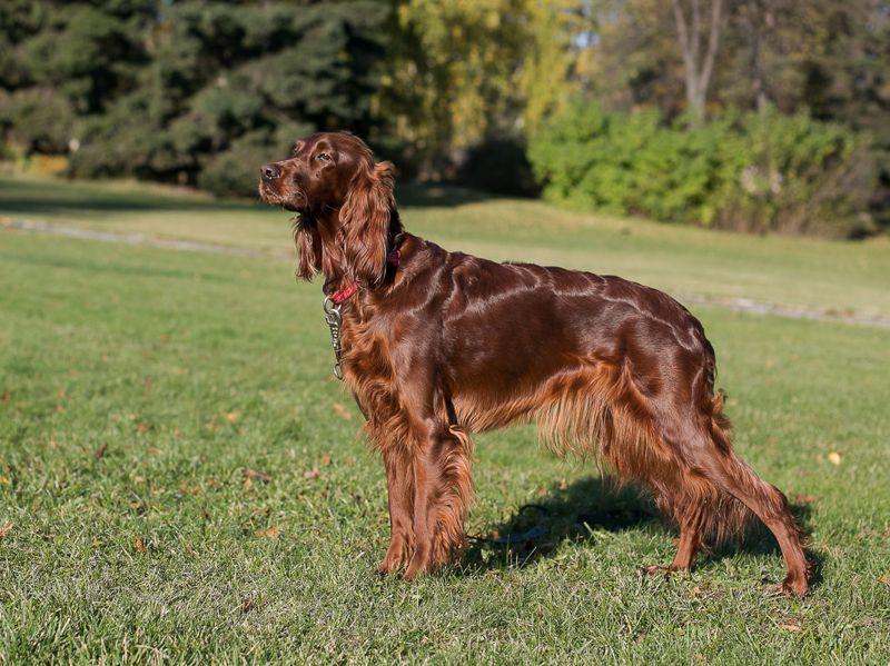 Ирландский сеттер: описание породы собак, цена щенков