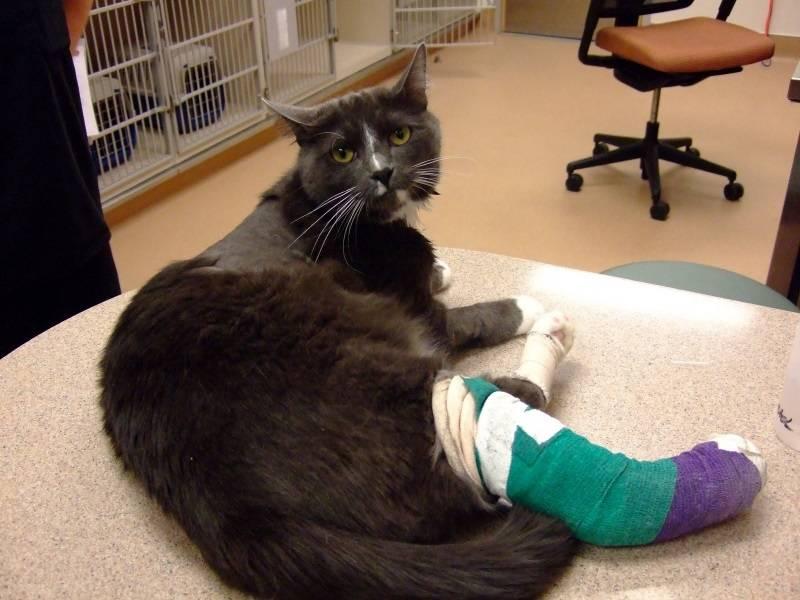 Переломы у кошек: диагностика, лечение, профилактика