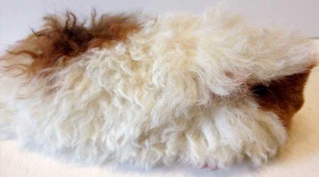Гигантская морская свинка породы куи - люблю хомяков