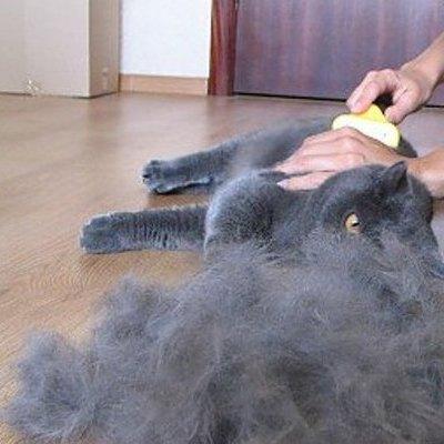 Линька у кошек: что делать, если кот сильно линяет   hill's pet