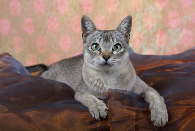 Сингапурская кошка: описание породы, характеристики, фото, правила ухода и содержания – petstory