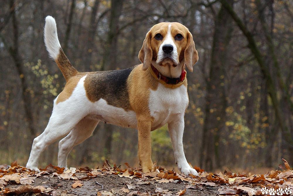 Отзывы владельцев о породе бигль: характер собак, особенности их содержания в квартире и отношение к детям