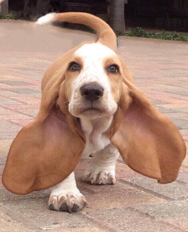 Длинная собака с длинными ушами: описание пород, фото :: syl.ru