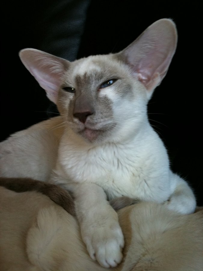 Яванская кошка: описание породы, характер, фото и цена