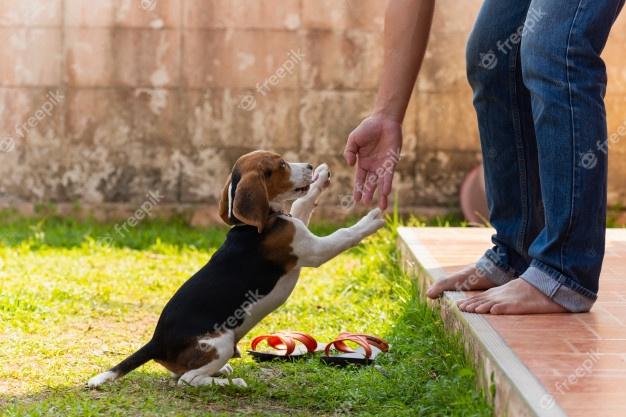 Как нужно правильно воспитывать щенка бигля   все о собаках
