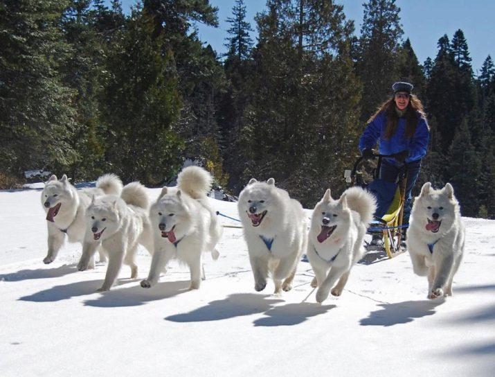 Лучшие сторожевые породы собак с фотографиями и названиями для частного дома