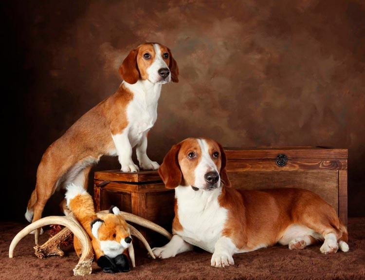 Охотничьи породы собак. описания, названия и виды охотничьих собак   живность.ру