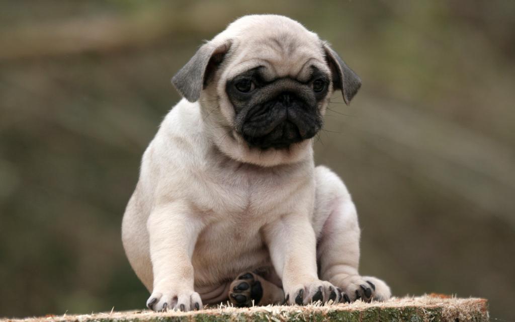 Маленький мини мопс: карликовый американский ло ши - описание породы собаки с фото и ценой