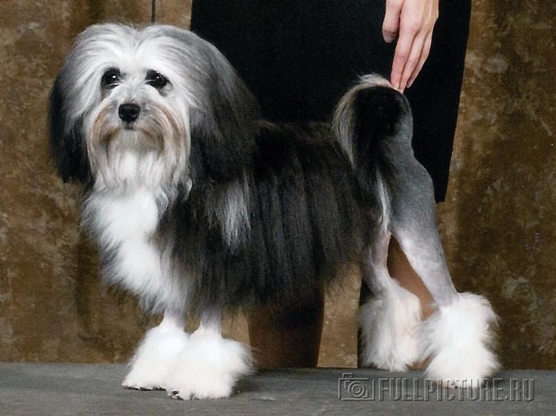 Самая дорогая собака в мире - топ 10 пород по цене в мире