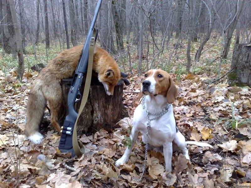 Обучение гончих - охота и рыбалка, животные, туризм