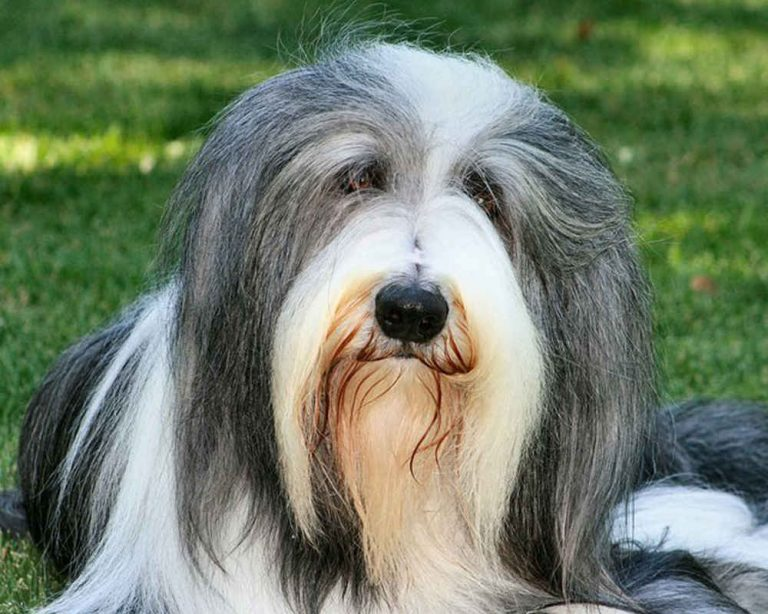 Бордер колли собака. описание, особенности, виды, уход и цена породы бордер колли   живность.ру