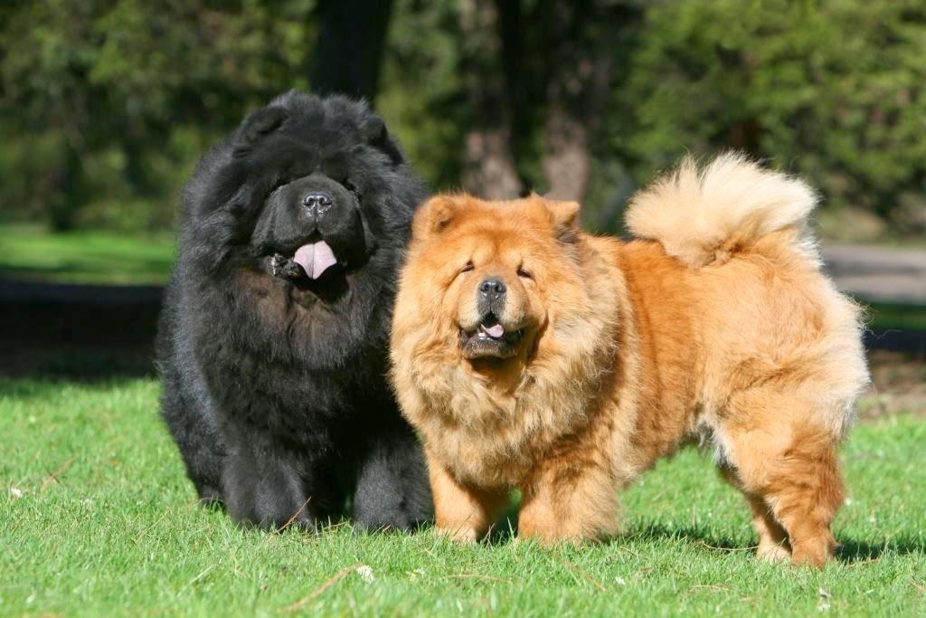 Самые дорогие собаки в мире — топ 27 пород: фото с описанием и характеристиками