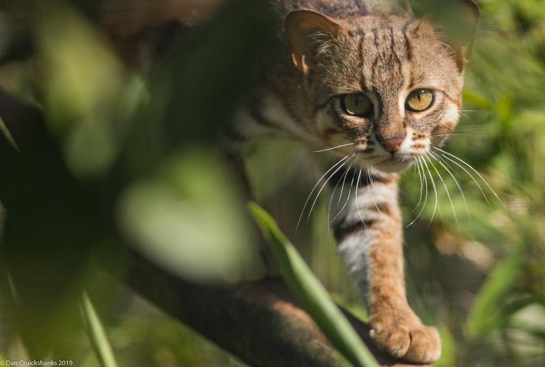 Самые маленькие дикие кошки: фото и названия