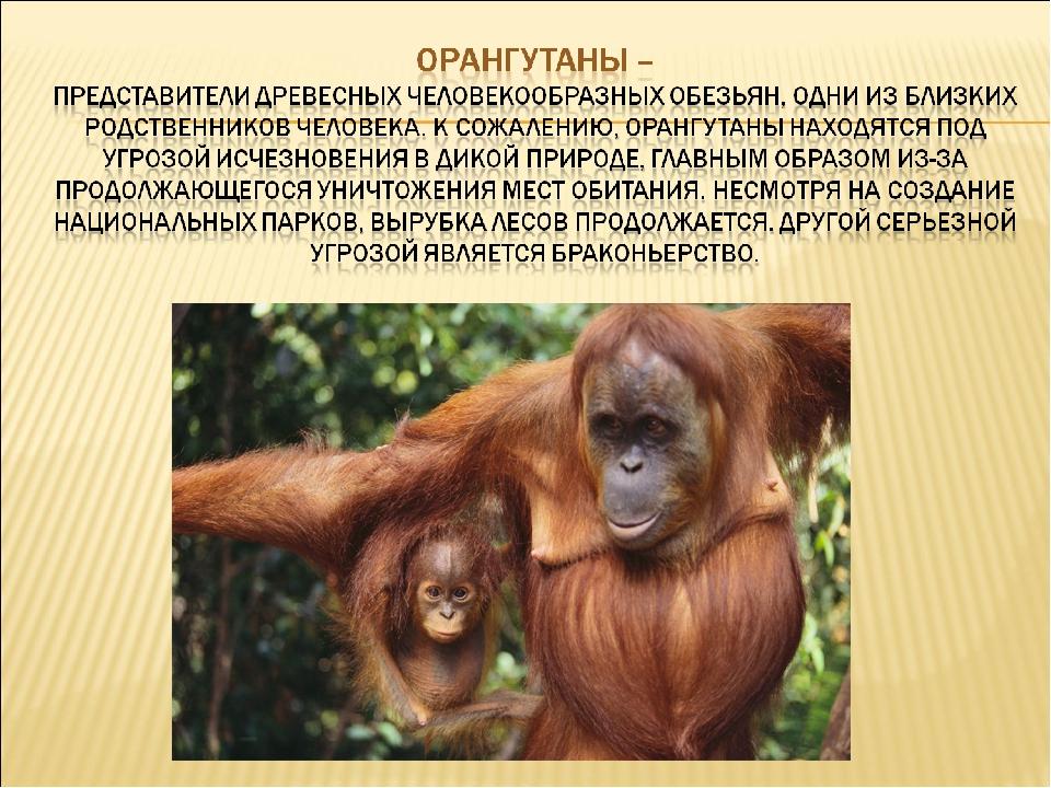 Человекообразная обезьяна: виды, особенности, кто из них ближе всего к нам