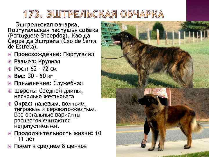 Эштрельская овчарка: описание породы собак с фото и видео