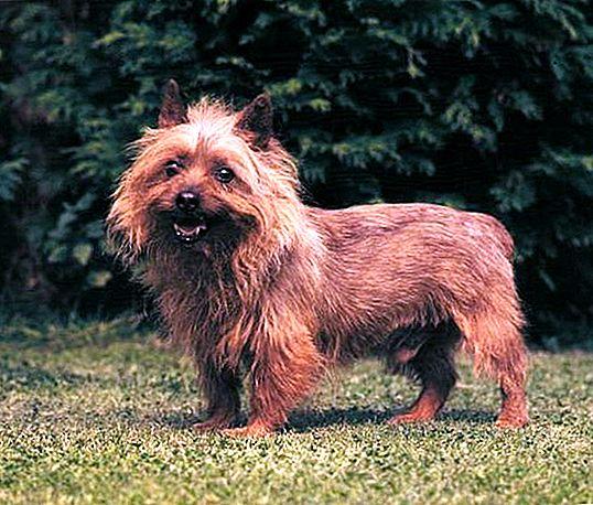 Описание породы собак австралийский терьер с отзывами владельцев и фото