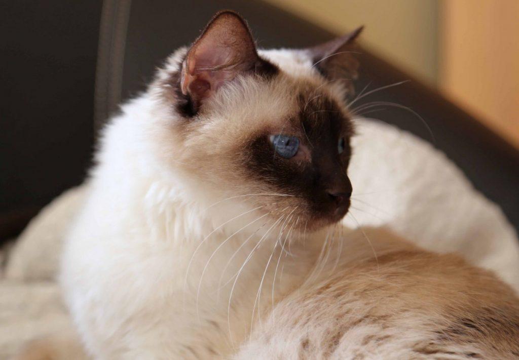 Балинезийская кошка: история и описание породы, внешность и характер - мир кошек