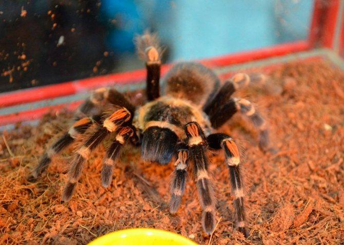 Паук птицеед брахипельма альбопилосум: содержание паука