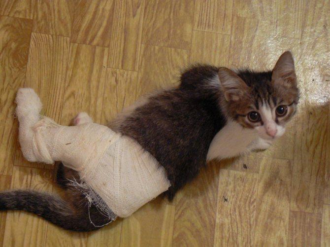Переломы у кошек: диагностика, лечение, профилактика - «айболит плюс» - сеть ветеринарных клиник