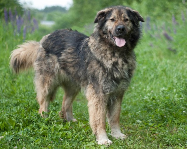 Кавказская овчарка – разновидности, сравнение с алабаем, особенности ухода, содержания и дрессировки
