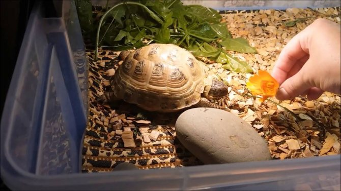 Пьют ли сухопутные черепахи воду, как поить черепаху в домашних условиях