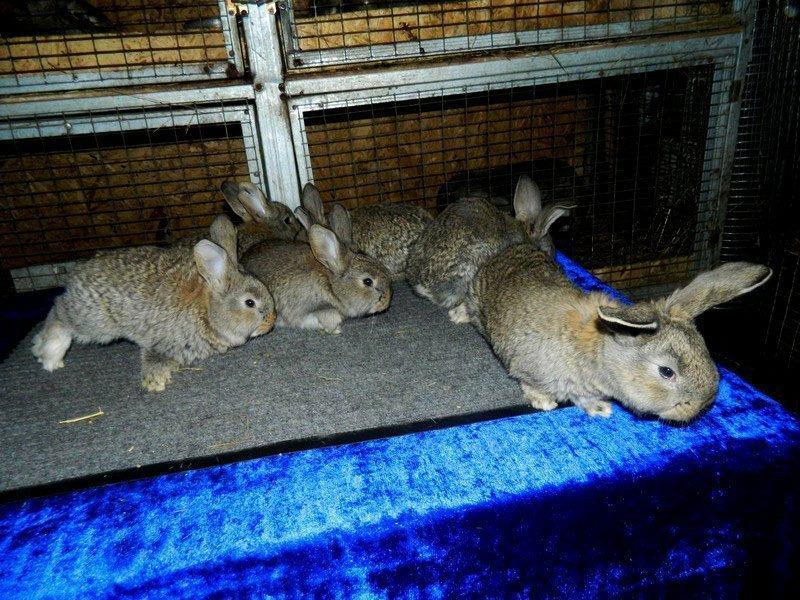 Кролик породы фландр (бельгийский великан): содержание и разведение в домашних условиях
