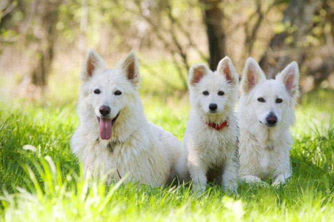 Самая элегантная служебная собака. белая швейцарская овчарка