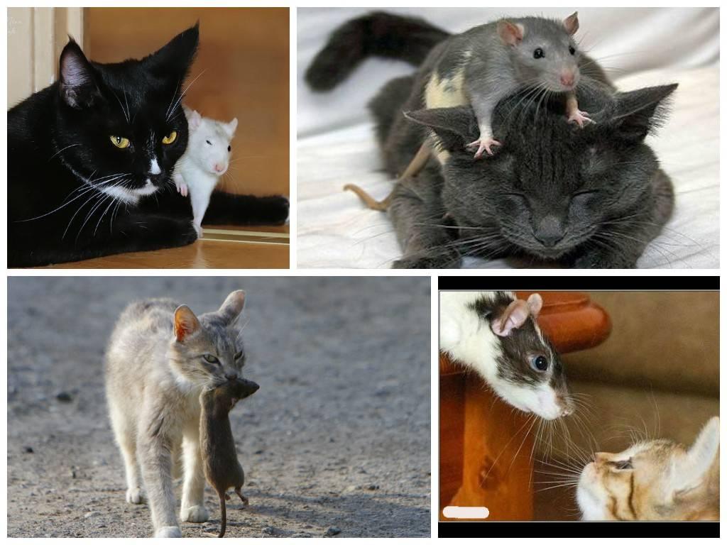 Какие кошки лучше ловят крыс и мышей?
