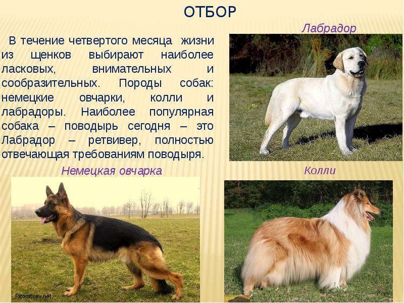Служебные породы собак: топ-10 с фото и названиями   «дай лапу»