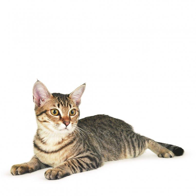 Кошки окраса табби (25 фото): перечень пород котов серебристого, тигрового, лилового и других окрасов, цвет котенка линкс-пойнта