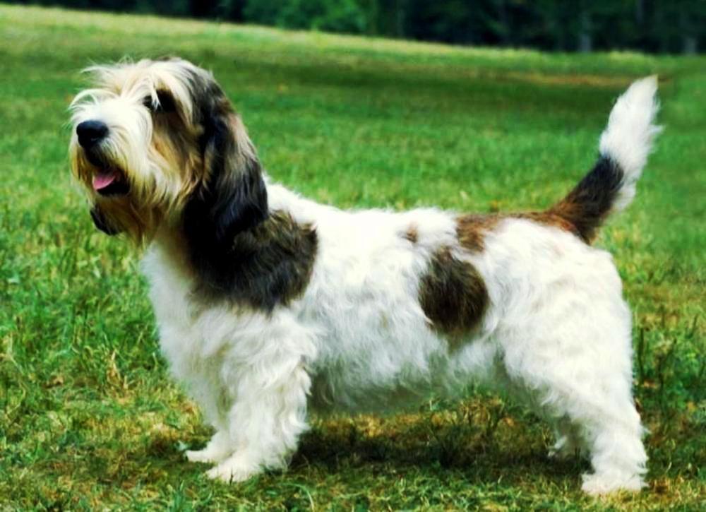 Вандейский бассет-гриффон собака. описание, особенности, характер, уход и цена породы   животный мир