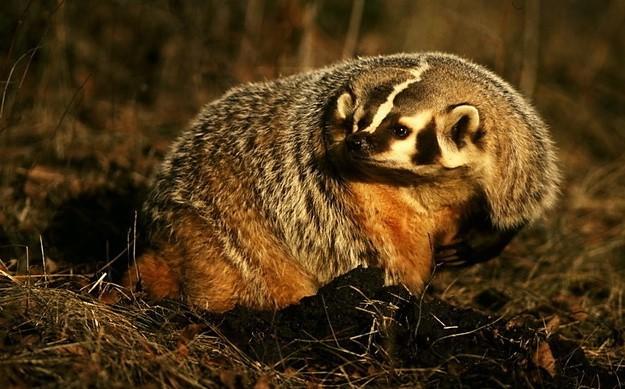 Барсук: как выглядит хищное животное, интересные факты и фото
