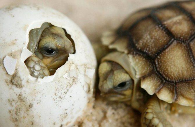 Размножение черепах: потомство в неволе | домашние животные