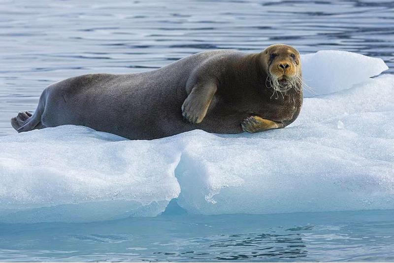 Морской заяц - вики
