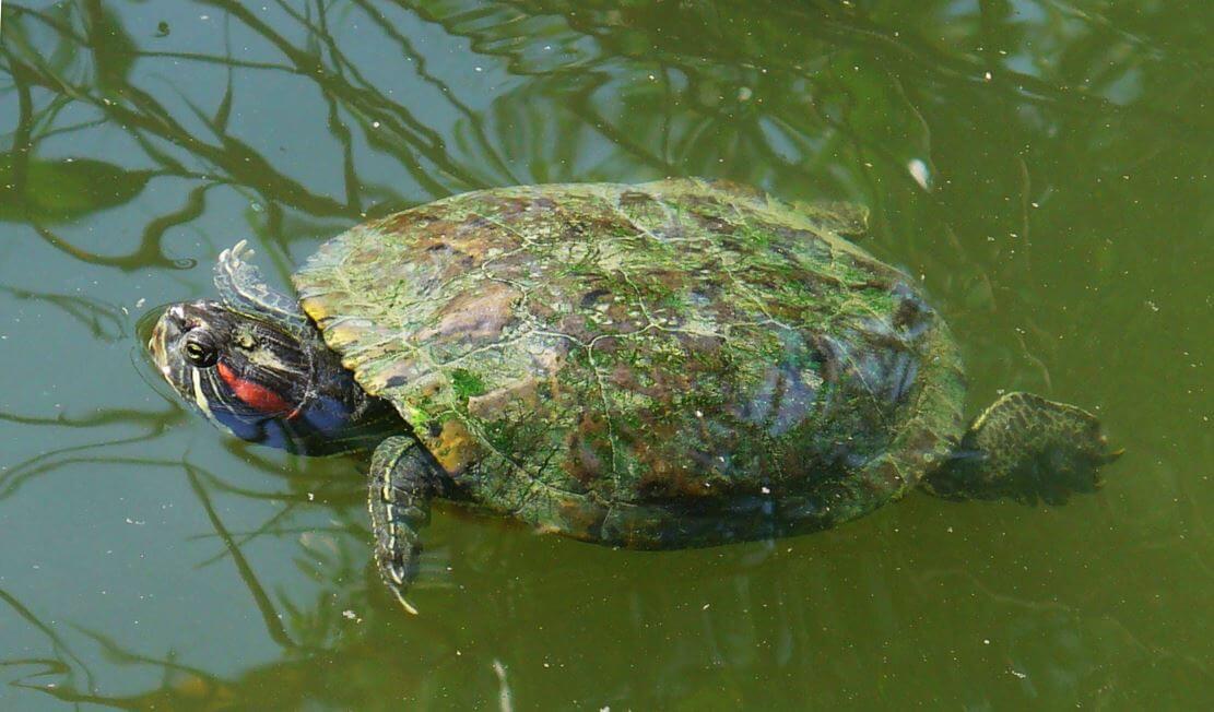 Черепаха дома - все о черепахах и для черепах. как выбрать черепаху для ребенка; какую черепашку лучше завести дома для ребенка