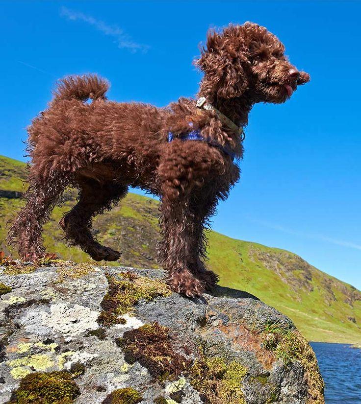 Породы мелких кудрявых собак