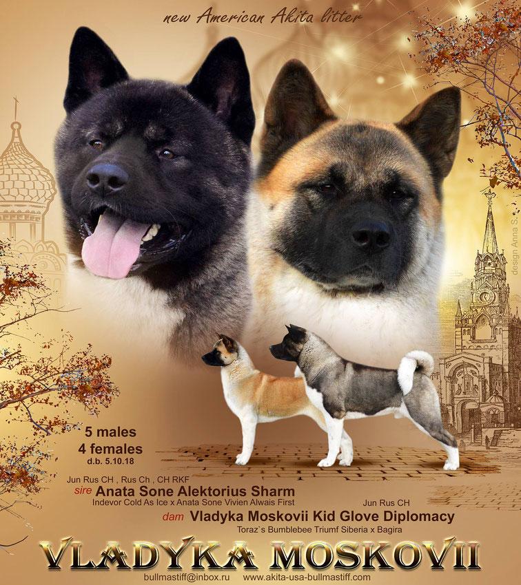 Американская акита: все о собаке, фото, описание породы, характер, цена