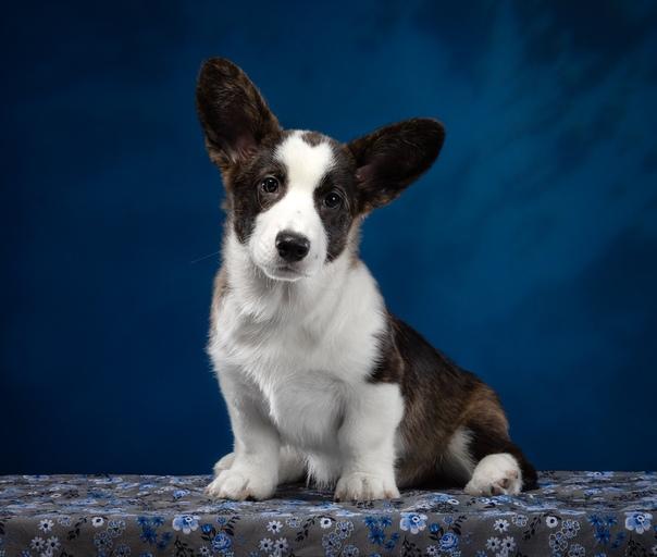 Вельш-корги: описание породы собак