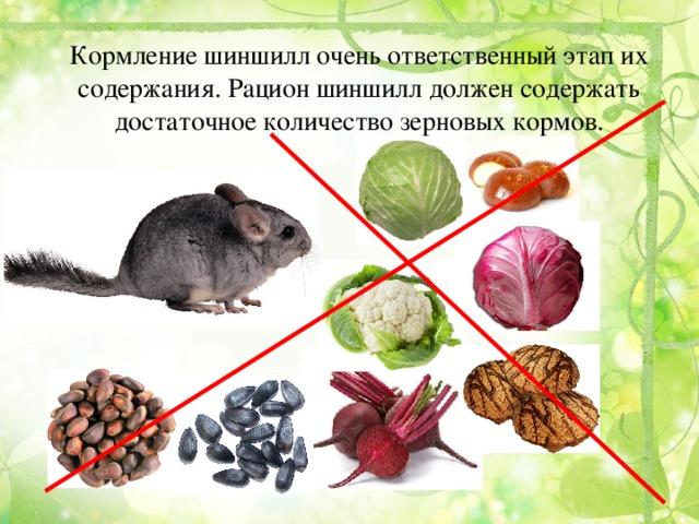 Что едят шиншиллы в домашних условиях: список что можно и что нельзя