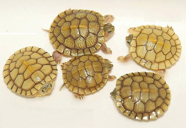 Как определить пол красноухой черепахи? 19 фото как отличить мальчика от девочки в домашних условиях по панцирю? другие способы определения самки и самца