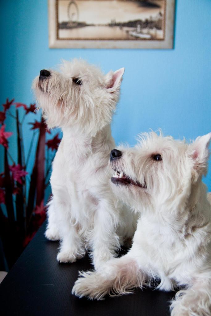 Вест-хайленд-уайт-терьер (66 фото): описание белых собак, плюсы и минусы породы. как выбрать щенков? питание и характер. отзывы владельцев