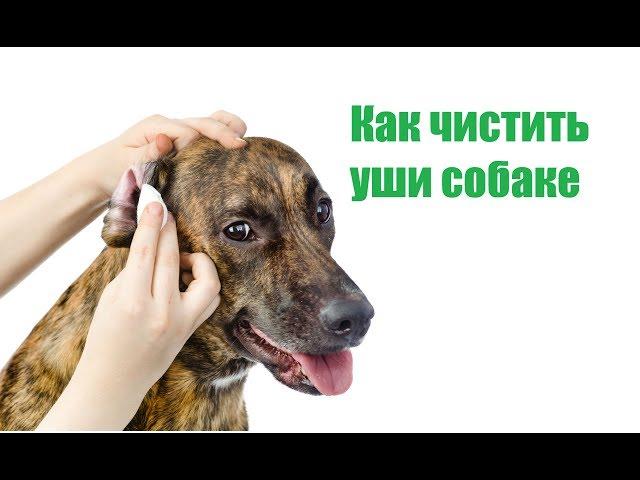 Как ухаживать за ушами собаки | ветмед