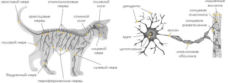 Рязанец считает себя саблезубой кошкой и носит хвост на магните
