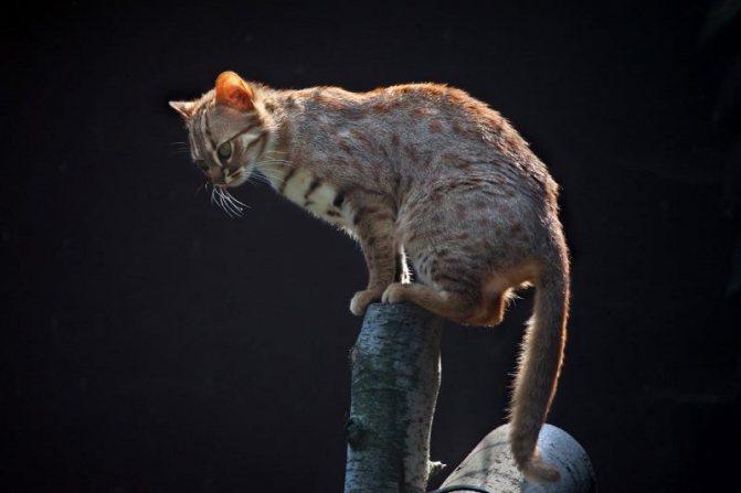 12 самых дорогих пород кошек