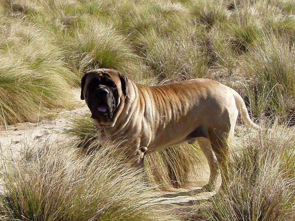 Самая дорогая порода собак в мире. 10 самых дорогих пород собак: фото и описание :: syl.ru