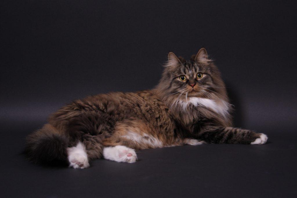Норвежская лесная кошка: фото, внешний вид, сколько стоит, описание породы, факты, питание