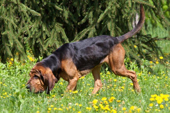 Бладхаунд собака. описание, особенности, уход и цена бладхаунда